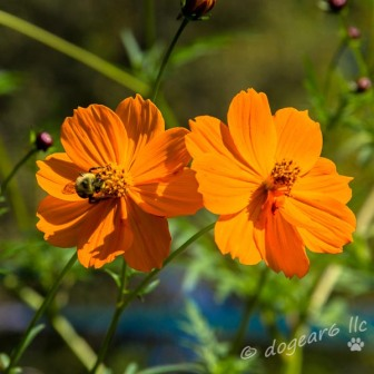 Orange Cosmos at the Lewis Ginter Botanical Gardens