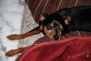 A miniature pinscher in front of the fire