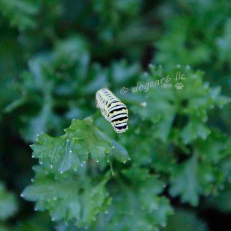 Growing butterflies in the parsley
