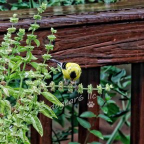 Goldfinch in the basil on the deck