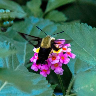 hummingbird (sphinx)moth
