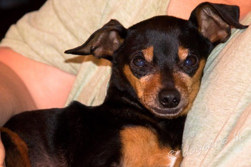 Of course, I could spend an extra hour a day cuddling a miniature pinscher and letting him use me as his very own pillow.