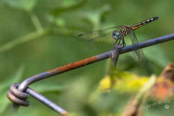 Dragonfly resting on a tomato cage in the backyard