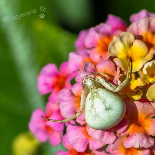 White crab spider on a lantana at the Lewis Ginter Botanical Gardens in Richmond, Virginia