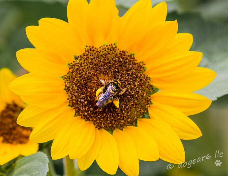 Sunflower and bee at Lewis Ginter Botanical Gardens
