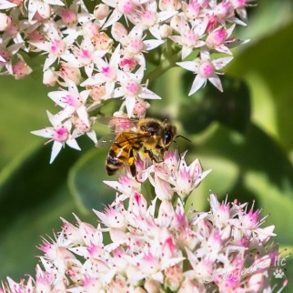 Bee; September 2014 at Lewis Ginter Botanical Gardens, Richmond, Virginia