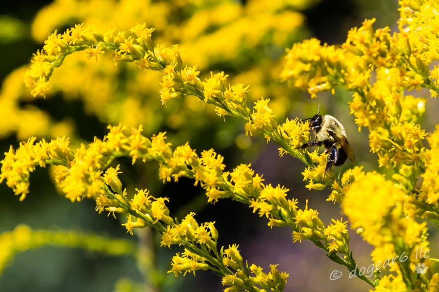 Bee in Goldenrod; September 2014 at Lewis Ginter Botanical Gardens, Richmond, Virginia