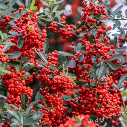 Red Berries; October 2014 at Lewis Ginter Botanical Gardens, Richmond, Virginia