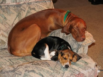 The beagle is three months old; the Vizsla is ten months old even though he looks full-grown