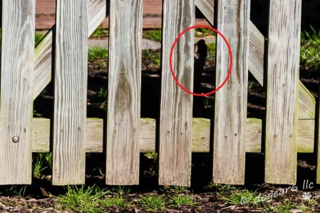 See the little dog howling in indignation that someone dared to approach his yard, even though it's just me?