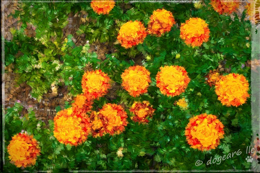 "Marigolds taken in the gardens at Colonial Williamsburg, Virginia.  Processed with Topaz Impressions ""Abstract 2"" and on1 border ""Dano""."