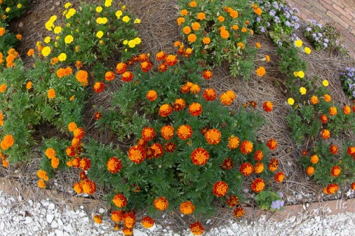 Original photo of marigolds taken in the gardens at Colonial Williamsburg, Virginia.