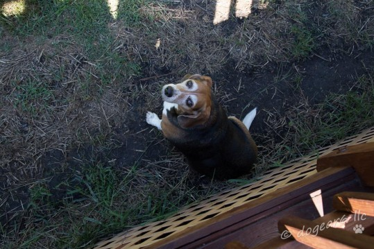 Orginial photo of the beagle in the backyard.