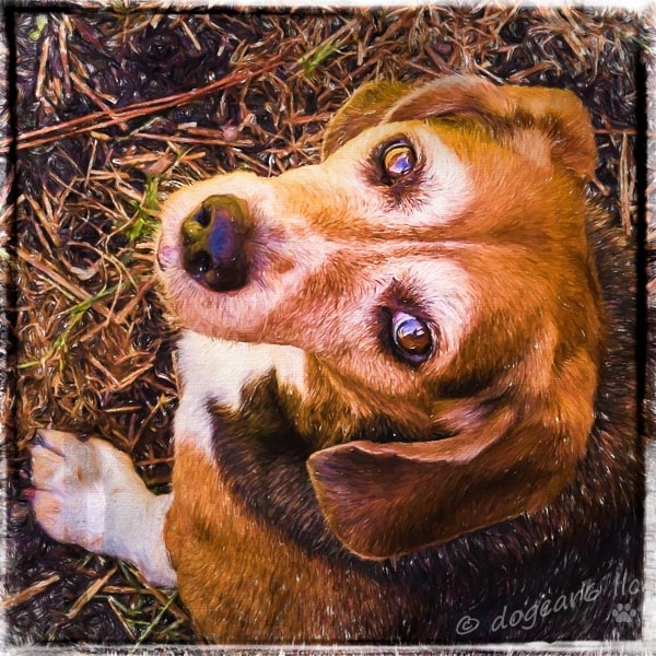 "Beagle in the backyard.  Post processed with Topaz Impressions ""Oil Painting by Jim LaSala"" and on1 border ""Russell""."
