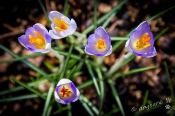 Crocus at the Lewis Ginter Botanical Gardens, Richmond, Virginia