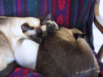 Kitten sandwich; seal point Siamese cats (center and right); chocolate point Siamese cat (left)