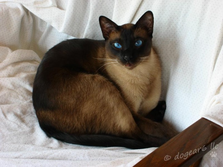 Cat #3 aka the kitten. Seal point Siamese cat.