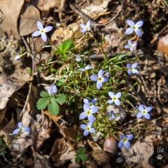 Forget-me-nots on the forest floor at Deep Run Park