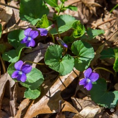 Violets on the forest floor at Deep Run Park