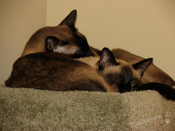 Awww. Cat #1 is in front; the kitten is in back. Seal point Siamese cats.