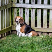The beagle says he needs treats, after he gets done scolding the beagle that lives behind us