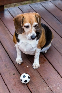 The beagle hopes to get the ball thrown!